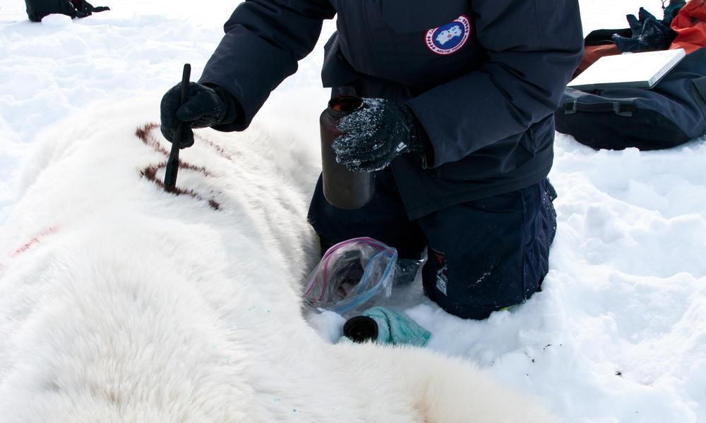 mark polar bear