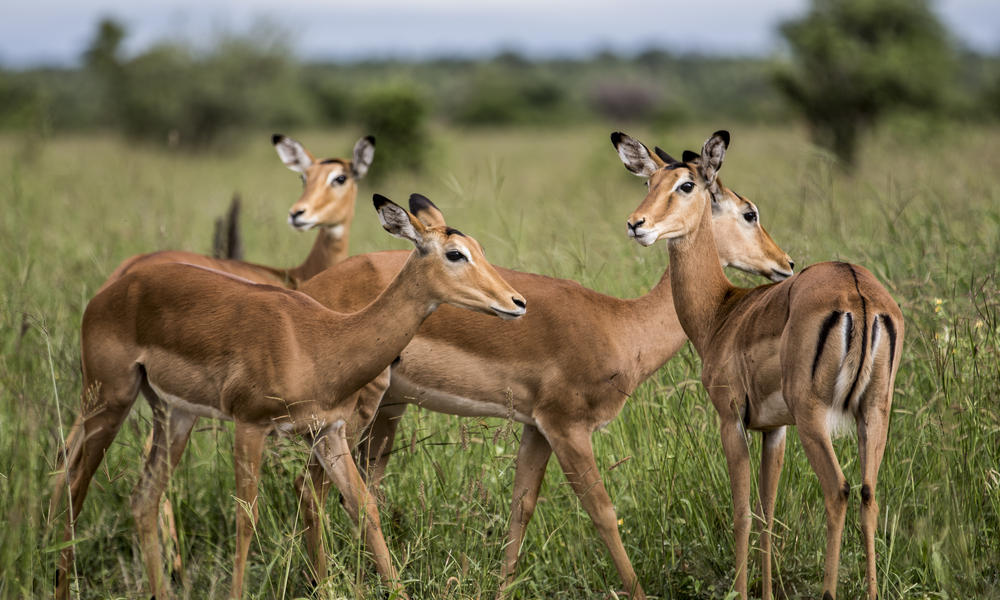A small herd of gazelle on the grassland.