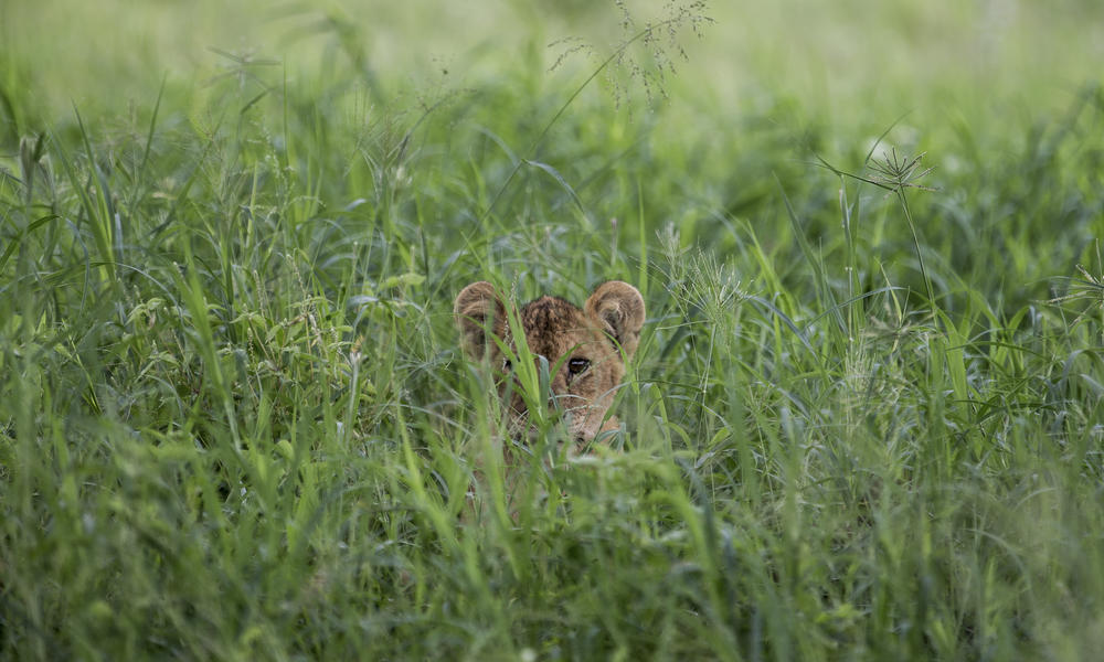 Lion cub hiding behind the long grass.