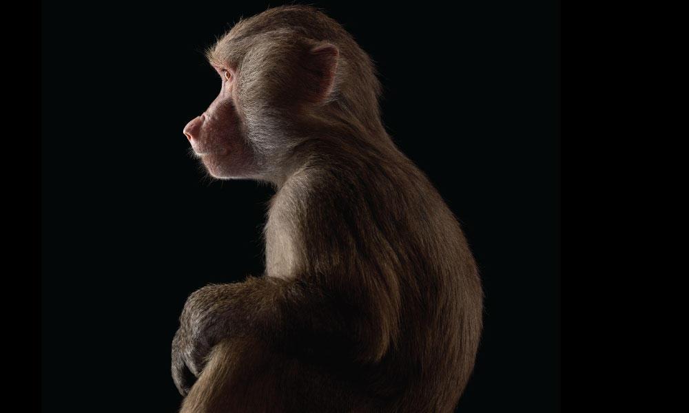 Baboon #5 by Brad Wilson