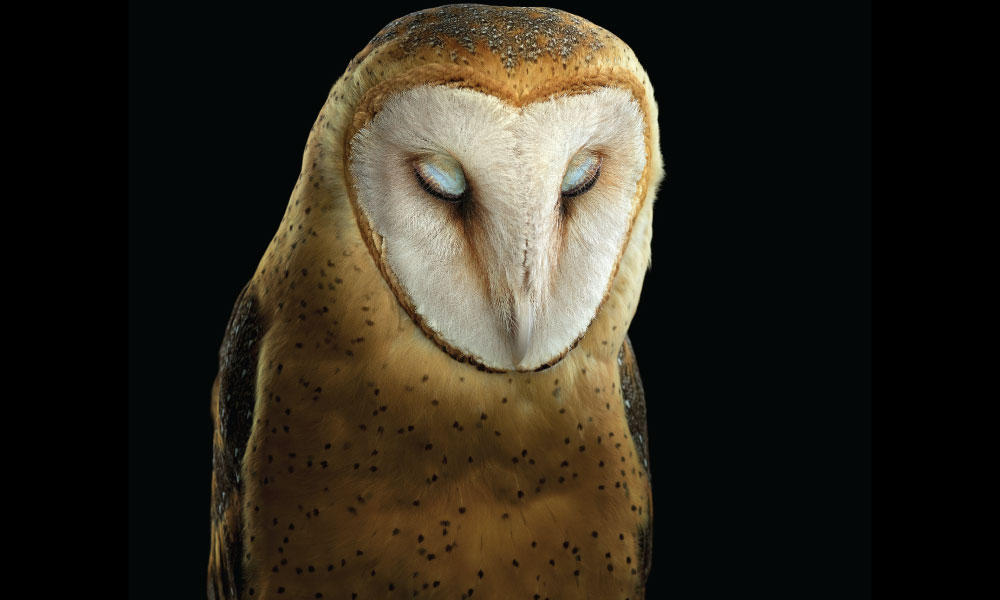 Barn Owl #1 by Brad Wilson