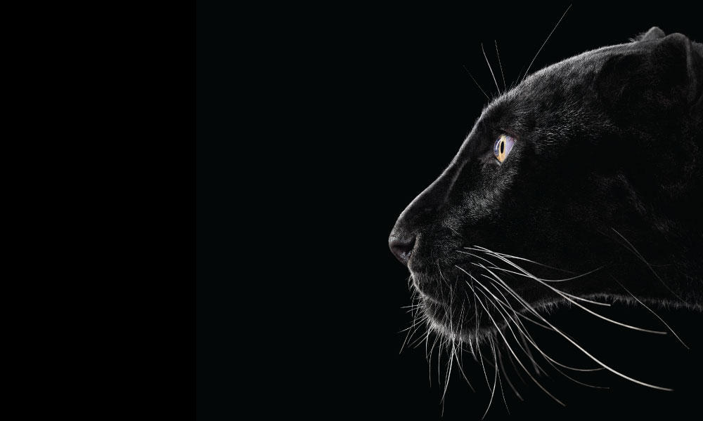 Black Leopard #2 by Brad Wilson