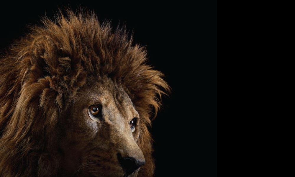Lion #3 by Brad Wilson