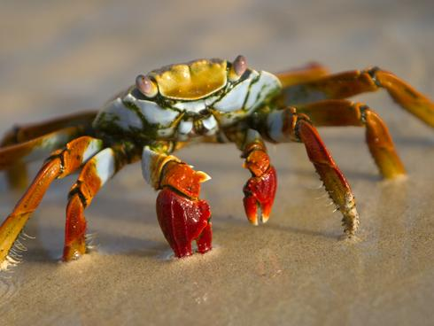 crab in sand