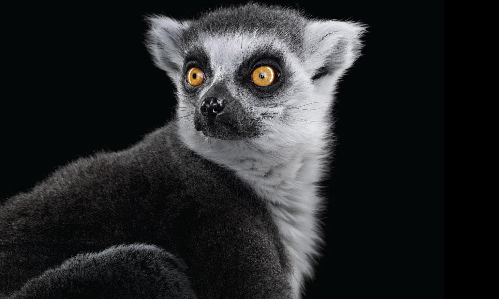 Ring-tailed Lemur #1 by Brad Wilson