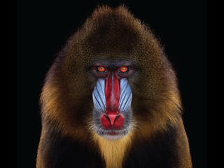 Mandrill #1 by Brad Wilson