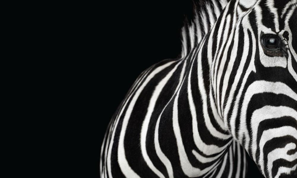 Zebra #1 by Brad Wilson