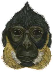 Yellow-cheeked crested gibbon illustration