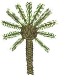 Pygmy Date Palm illustration