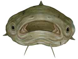 Mekong giant catfish illustration