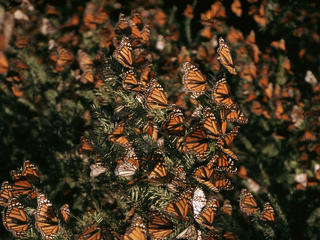 monarch butteflies