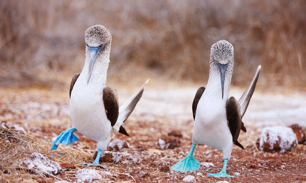 Blue footed booby shutterstock 141585535
