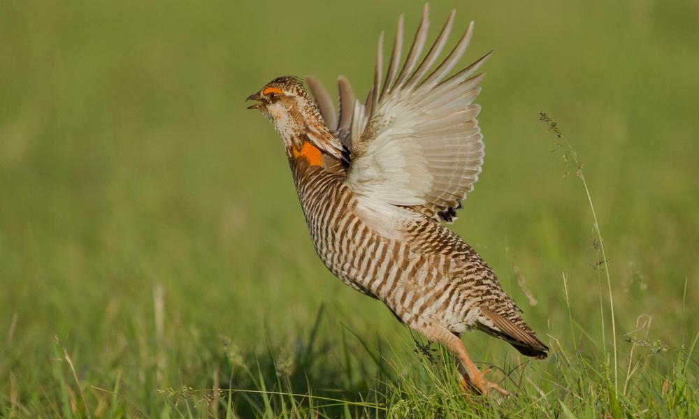 Prairie chicken  shutterstock 164505065