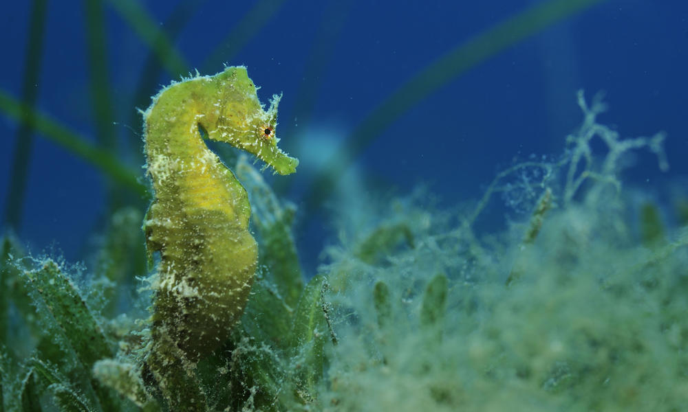 Seahorse wild wonders of europe zankl wwf 259252