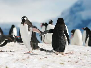 pingüinos tocando alas