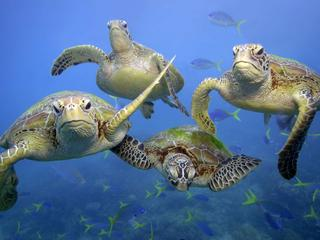 sea turtles in great barrier reef