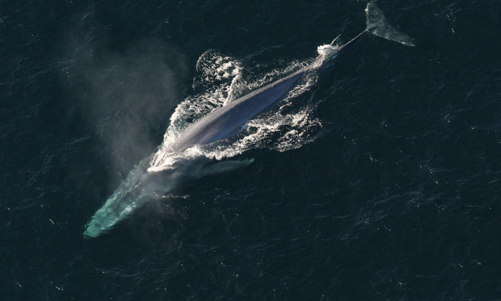 Blue whale in pacific noaa