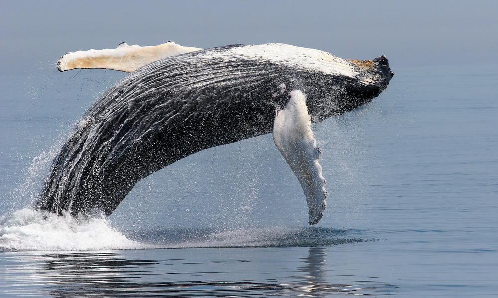 An essay on the hump back whales of the pacific and atlantic ocean
