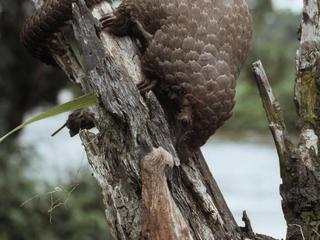 pangolin in tree