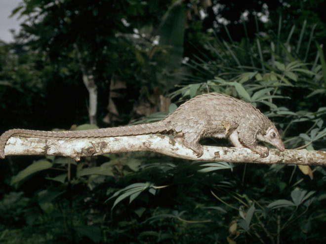 pangolin on branch