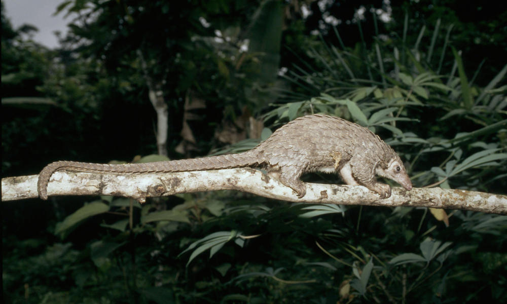 Scientists radio-tag Indian pangolin