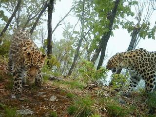 Amur-Leopard-Photo 2 (1)