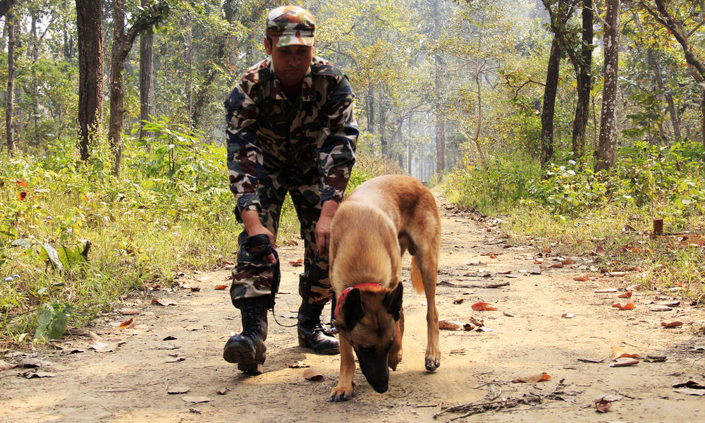 Murray being trained on tracking skills by his handler at chitwan national park  nepal %28mg 8209%29 %c3%82%c2%a9 akash shrestha  wwf nepal
