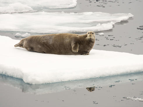 bearded seal on ice