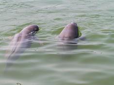Swimming porpoises wwf llikui