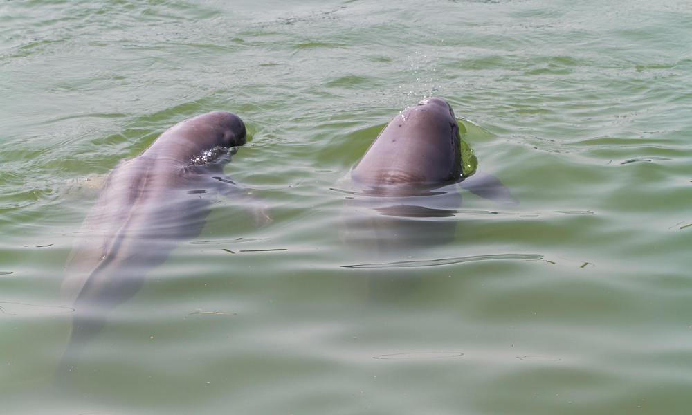 Swimming finless porpoises