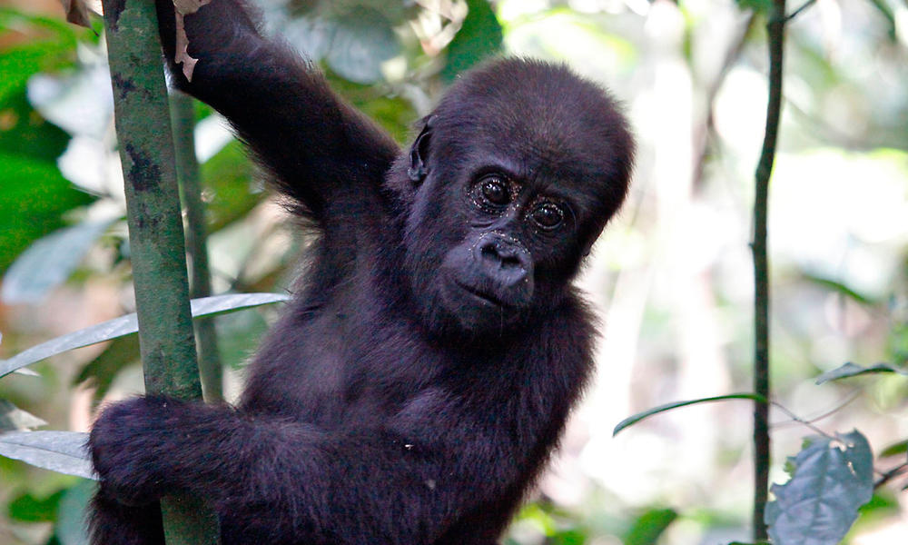 infant western lowland gorilla