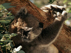 Koala hi 54126
