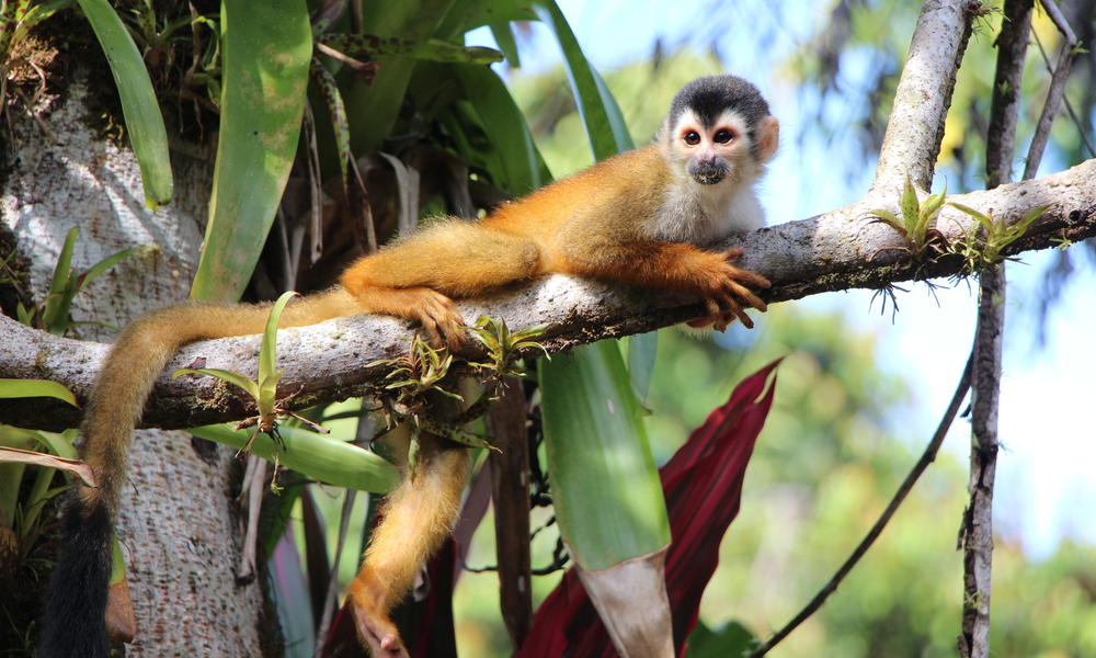 Squirrel monkey img 0268 %28c%29 wwf us jennafer bonello