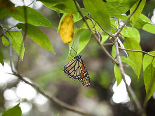 monarch butterfly in tree