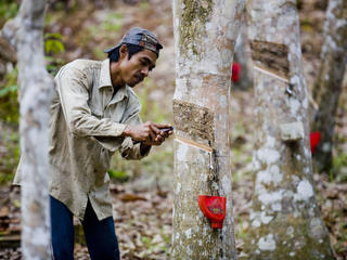 rubber tapping