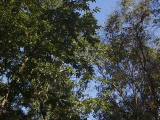 churia forest tree tops