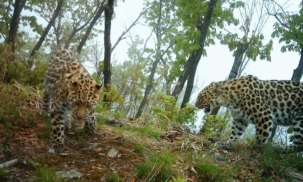 Amur leopard photo 2