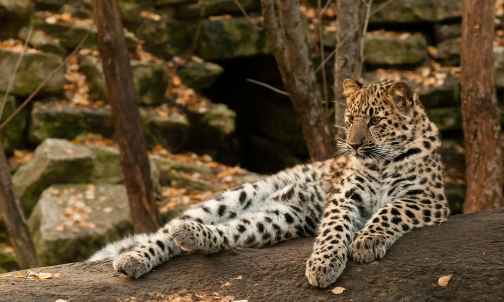 Amur Leopard: One of the World's Most Endangered Cats
