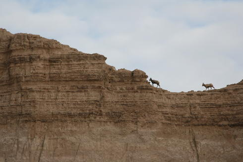 Bighorn sheep in Pine Ridge Reservation