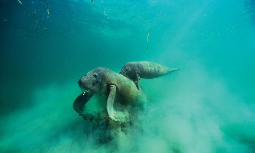 A female West Indian Manatee forages on sea grass with her calf in tow on her back