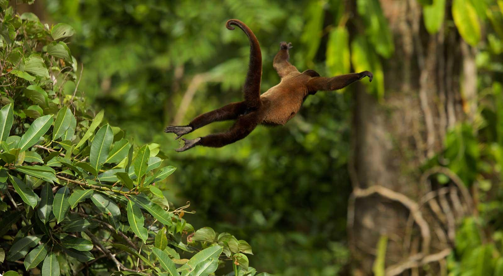 Swinging monkey photographs