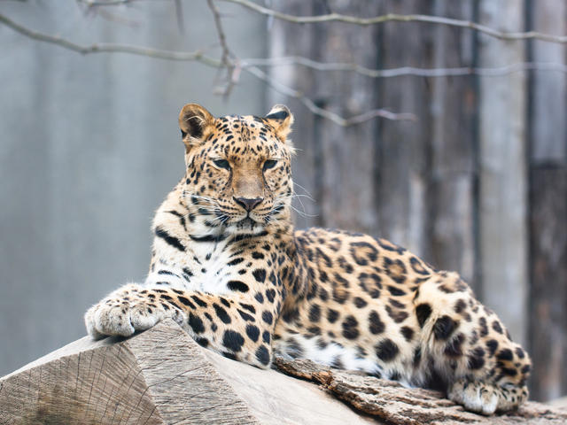 Amur Leopard Species WWF