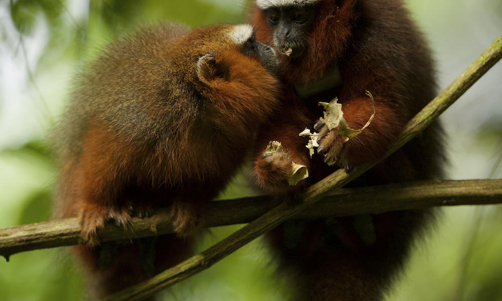 Dusky Titi Monkeys (Callicebus discolor) feeding