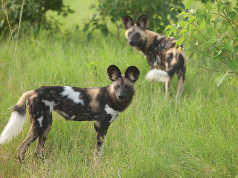 Wild dogs in green grass