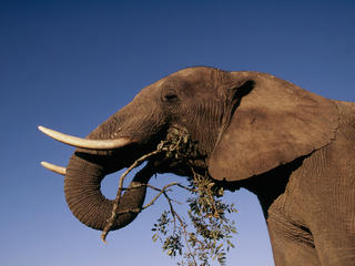 African elephant browsing on bush