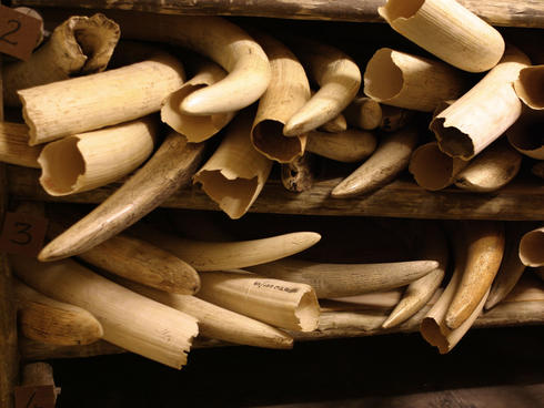 African Elephant Confiscating Conflict ivory