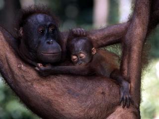 orangutan and mom