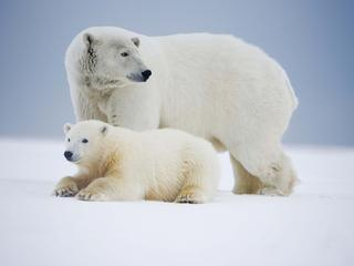 polar bear and mom