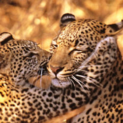 2015 04 momday donation leopards webpromo