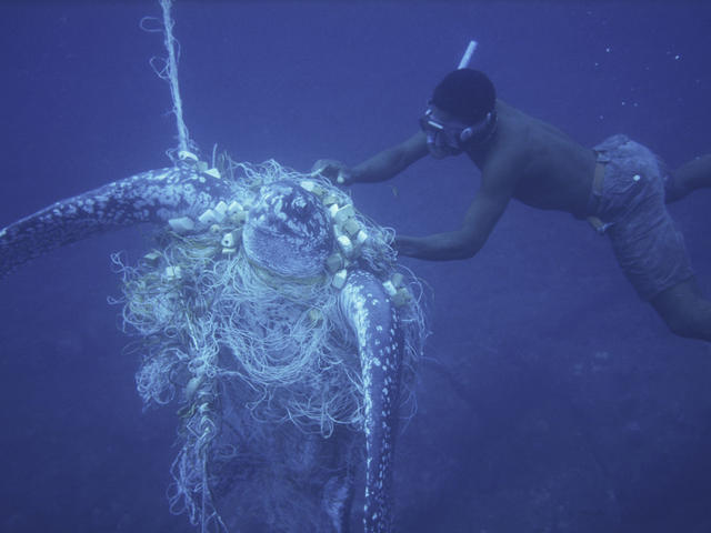 Unsucceful attempt by a diver to rescue a Leatherback turtle caught in a net